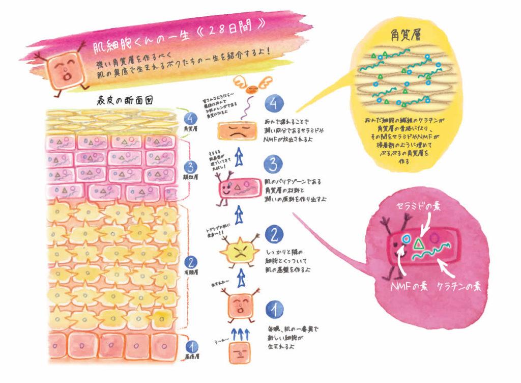 「肌の炎症の原因」に働きかけることで、酵素の働きを活性化して、自ら「細胞間脂質(セラミド)」「NFM」を生み出す肌を育ててくれるそうな。